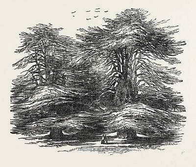 Aged Wood Drawing - Cedars, At Chorley Wood House, Hertfordshire by English School