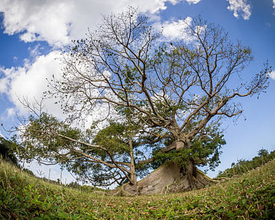 Taino Photograph - Ceiba by Carl Engman