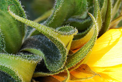 Photograph - Celebration Sunflower by Wendy Wilton