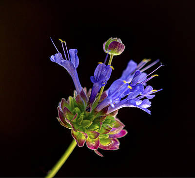 Photograph - Celestial Blue Salvia by Joe Schofield