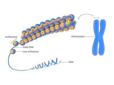 Nucleic Photograph - Cellular Packaging Of Dna by Science Photo Library