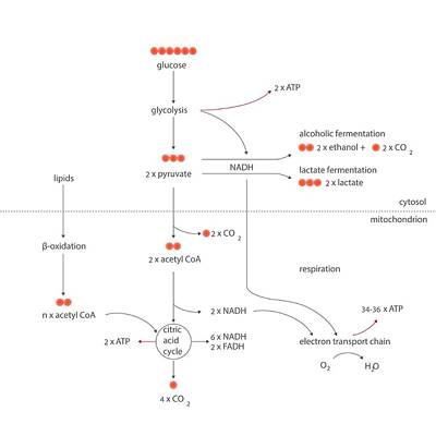 Cellular Respiration Metabolic Cycles Art Print by Science Photo Library