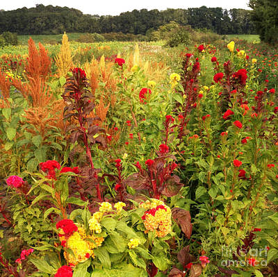Photograph - Celosia Garden by Chris Scroggins