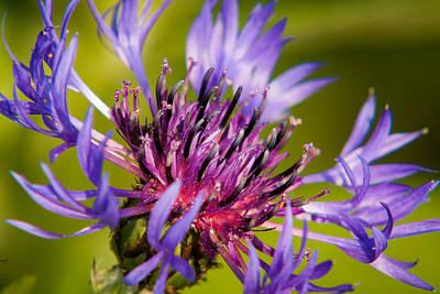 Knapweed Photograph - Centaurea by Matt Dobson