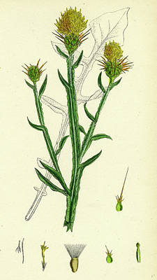 Thistle Drawing - Centaurea Solstitialis St by English School