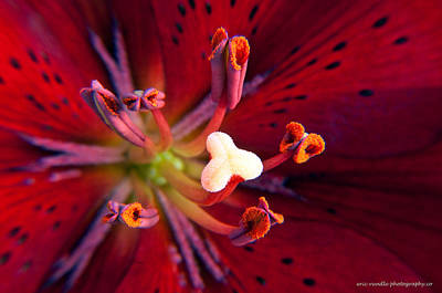 Photograph - Center Of A Red Lily  by Eric Rundle