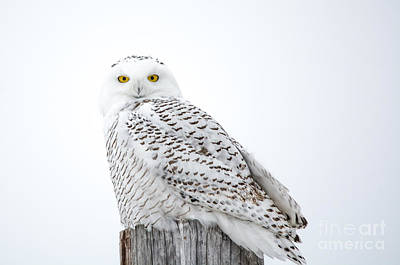 Photograph - Centered Snowy Owl by Cheryl Baxter