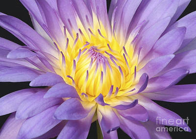 Photograph - Centered - Water Lily by Carol Groenen