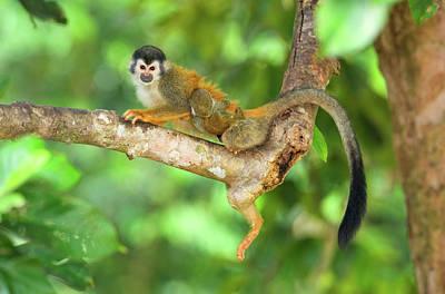 Central American Squirrel Monkey Art Print