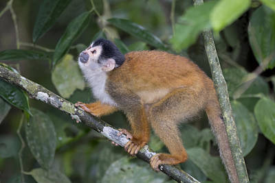 Osa Wall Art - Photograph - Central American Squirrel Monkey by John Shaw