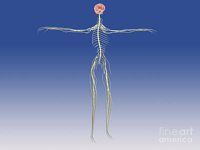 Central Nervous System With Human Brain Art Print