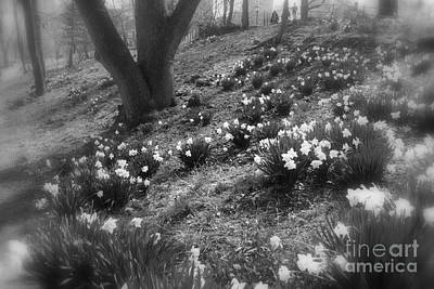 Photograph - Central Park New York - Spring Daffodils - Black And White by Miriam Danar