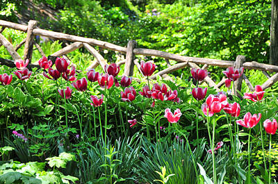 Photograph - Central Park Tulips by Mike Martin