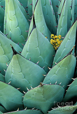 Agave Photograph - Century Plant And Tiny Blossom by Inge Johnsson