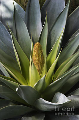 Photograph - Century Plant  by Craig Lovell