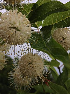 Photograph - Cephalanthus Occidentals The Button Bush 2 by K Simmons Luna
