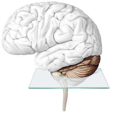Photograph - Cerebellum, Illustration by QA International