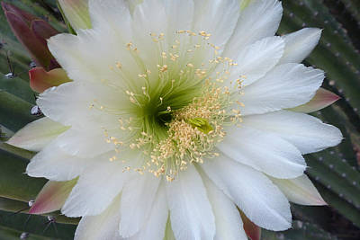 Photograph - Cereus Peruvianus by Cindy McDaniel