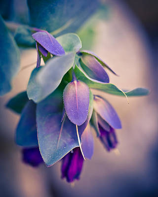 Photograph - Cerinthe Dream by Priya Ghose