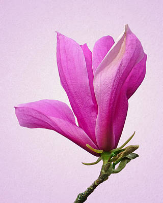 Photograph - Cerise Pink Magnolia Flower by Gill Billington