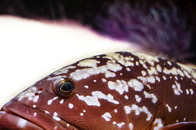 Photograph - Cernia - Grouper by Alfio Finocchiaro