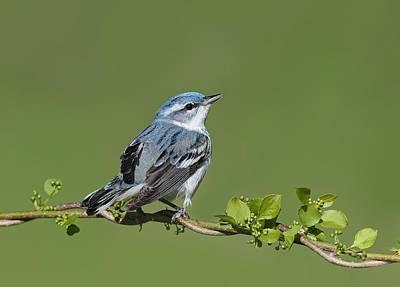 Photograph - Cerulean Warbler by Daniel Behm