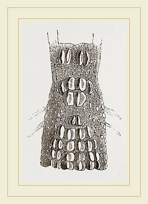Biological Drawing - Cervical Plates Of Crocodile by Litz Collection