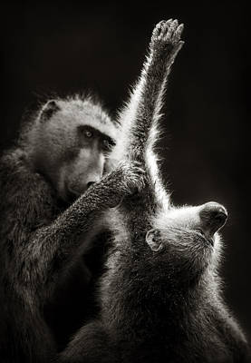 Animals Photos - Chacma Baboons Grooming by Johan Swanepoel