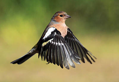 Photograph - Chaffinch In Flight by Grant Glendinning