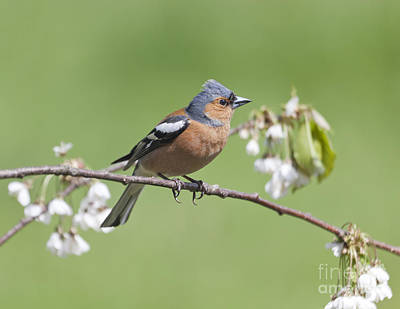 Finch Photograph - Chaffinch With Plum Blossom by Liz Leyden