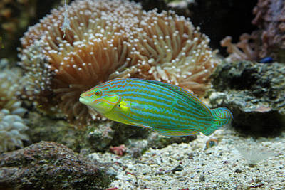 Chain-lined Wrasse, Kula Eco Park Art Print by David Wall