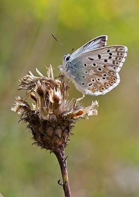 Knapweed Photograph - Chalkhill Blue Butterfly On Knapweed by Bob Gibbons