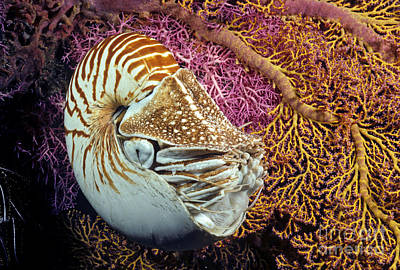 Simple Beauty In Colors Photograph - Chambered Nautilus _nautilus Pompilius__ Indonesia by Dave Fleetham