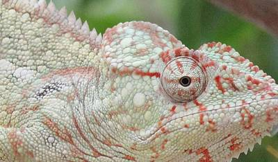 Photograph - Chameleon Contemplating Color by Diane Alexander