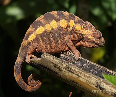 Photograph - chameleon from Madagascar 10 by Rudi Prott