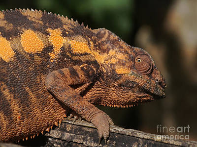 Photograph - chameleon from Madagascar 11 by Rudi Prott