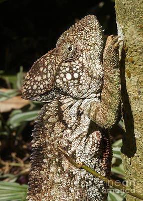 Photograph - chameleon from Madagascar 14 by Rudi Prott