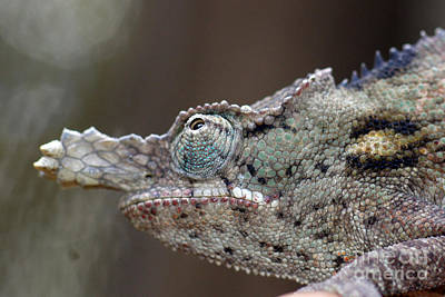 Photograph - chameleon from Madagascar 15 by Rudi Prott