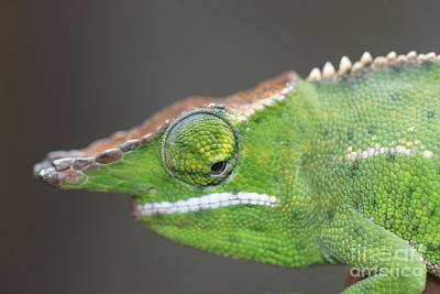 Photograph - chameleon from Madagascar 16 by Rudi Prott