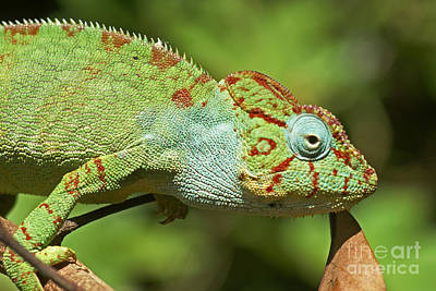 Photograph - chameleon from Madagascar 21 by Rudi Prott