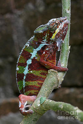 Photograph - chameleon from Madagascar 6 by Rudi Prott