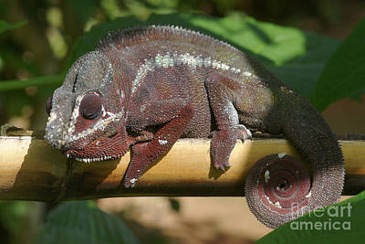 Photograph - chameleon from Madagascar 8 by Rudi Prott