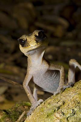 Photograph - Chameleon Gecko by B G Thomson