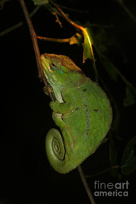 Photograph - chameleon of Madagascar 22 by Rudi Prott