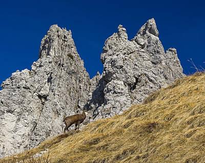 chamois in Alps Art Print by Ioan Panaite