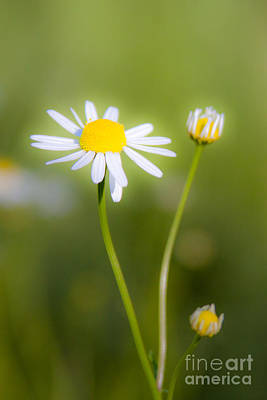 Photograph - Chamomile 1 by Wayne Valler