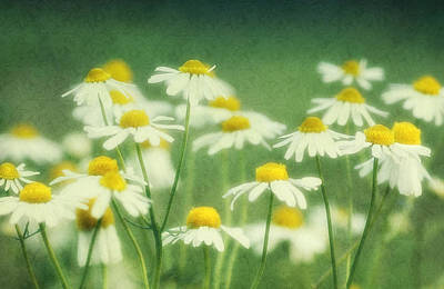 Chamomile Art Print by Claudia Moeckel