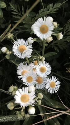 Chamomile Flowers. Art Print