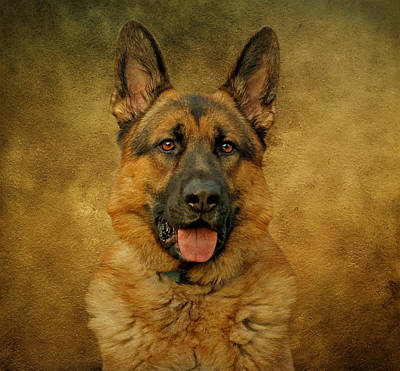 Chance - German Shepherd Art Print by Sandy Keeton
