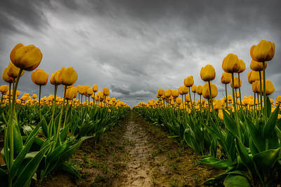 Tulips Photograph - Chance Of Rain by Dan Mihai